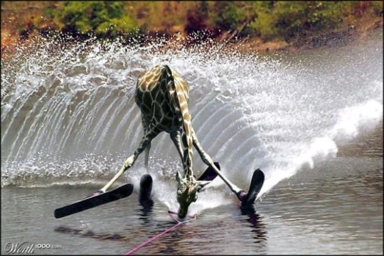 water sport & giraffe