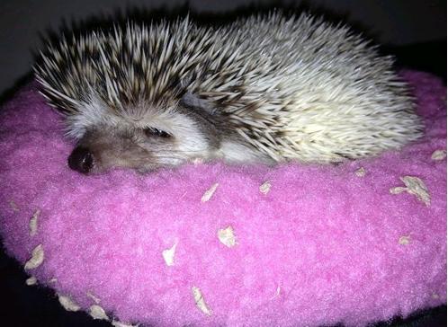 comfy hedgehog